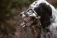 Europe/France/Limousin/23/Creuse/Plateau de Millevaches/Env Féniers: Chasse - Chien de chasse Setter anglais ou Laverak