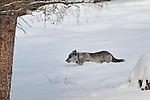 Female Grey or Timber Wolf (Canis lupus) (with research collar) running through deep snow. Alpha female of the Blacktail Pack. Lamar Valley, Yellowstone National Park, Wyoming, USA.