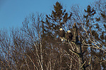 A pair of bald eagles perched in a snag in northern Wisconsin.