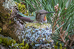 Anna's hummingbird on nest, Washington