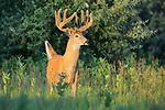 White-tailed Deer Buck in Velvet