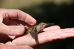Rocky Mountain National Park, Hummingbird Survey, 2008, conducted by Tena and Fred Engelman, summer, bird banding