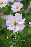 Cosmos bipinnatus 'Cosimo Pink-White'