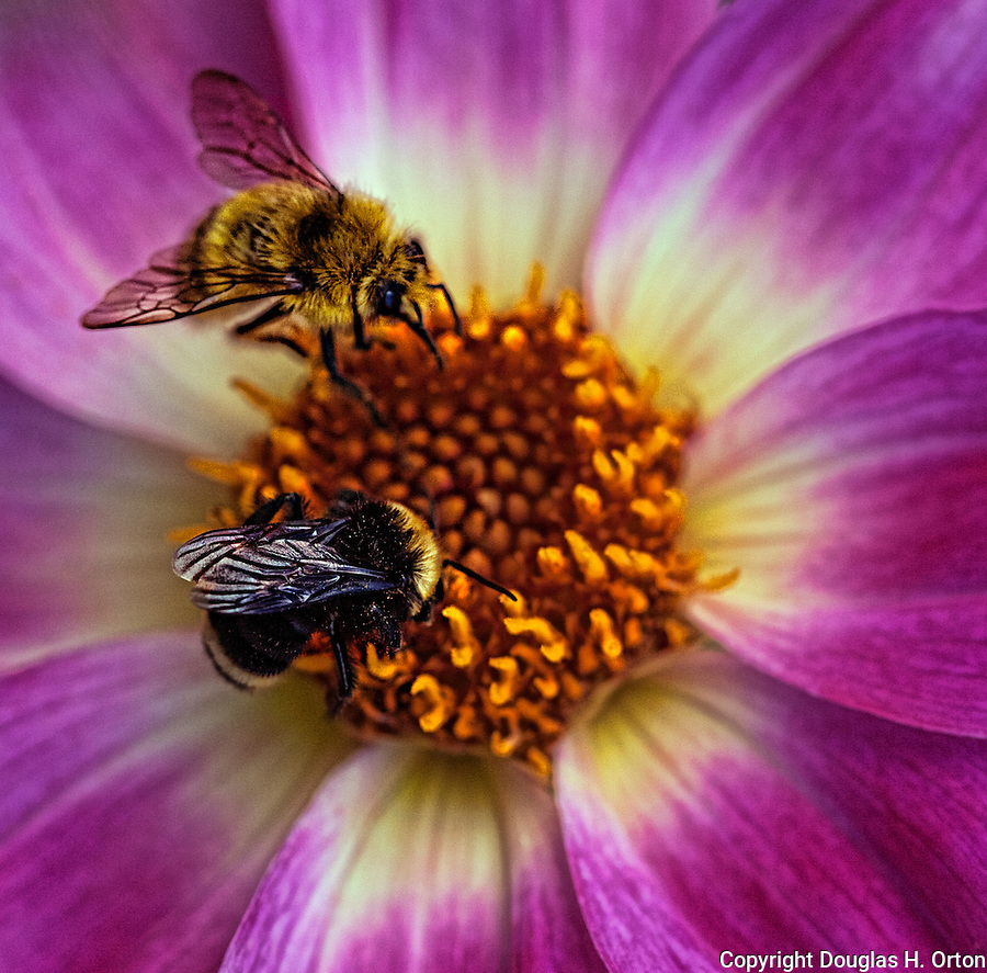 Honey Bee and Bumble Bee share a Dahlia bloom tht bursts with radiance.  Point Defiance Park, Tacoma, WA boasts wonderful gardens including rose gardens, dahlia garden, native plant, rhododendron and acres of old growth forest.  Hike, bike, photograph, fish, picnic, kayak