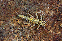Steinfliege, Larve, Nymphe, Perlodes intricatus, Perlodes intricata, Stonefly, larva, larvae