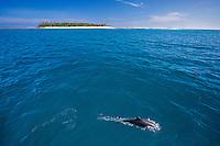 A dolphin cruises offshore from Tavarua Island, Fiji.