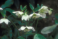 Hellebore White Ladies in white flowers