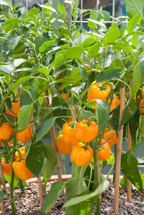 Bell peppers with many ripe orange yellow peppers ready to pick, sweet peppers