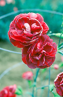 Dianthus Eileen Neal in red flowers