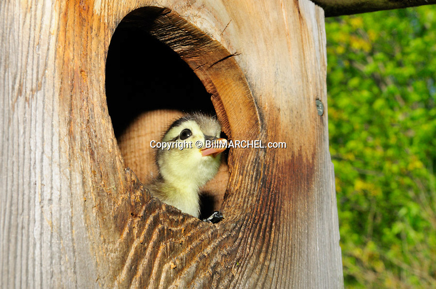 00360-108.04  Wood Duck:  Close up of day-old duckling in entrance to wood duck nesting box.  Hatch, down, bird house, brood, young, egg tooth..