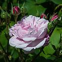 Rosa 'Céleste', mid June. Rosa 'Céleste'. A semi-double, light pink Alba rose.