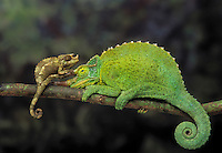 Jackson's Chameleon (Chamaeleo jacksonii) males adult & young. Native to Kenya & Tanzania, introduced to Hawaii. Captive.