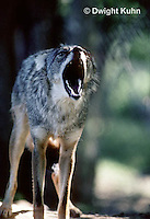 MA27-004z   Western Coyote - Canis latrans