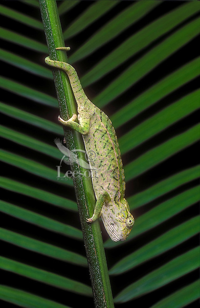 Carpet Chamleon (Furcifer lateralis) male uses prehensile tail to assist while climbing downward.  Native to Madagascar. Captive..
