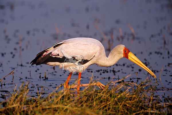 Yellow-billed stork (Mycteria ibis) looking for food along Lake Kariba, Matusadona National Park, Zimbabwe, Africa.