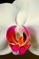 Inside a Phalaenopsis orchid lip and sexual column organ, closeup macro educational of white orchid with colored lip