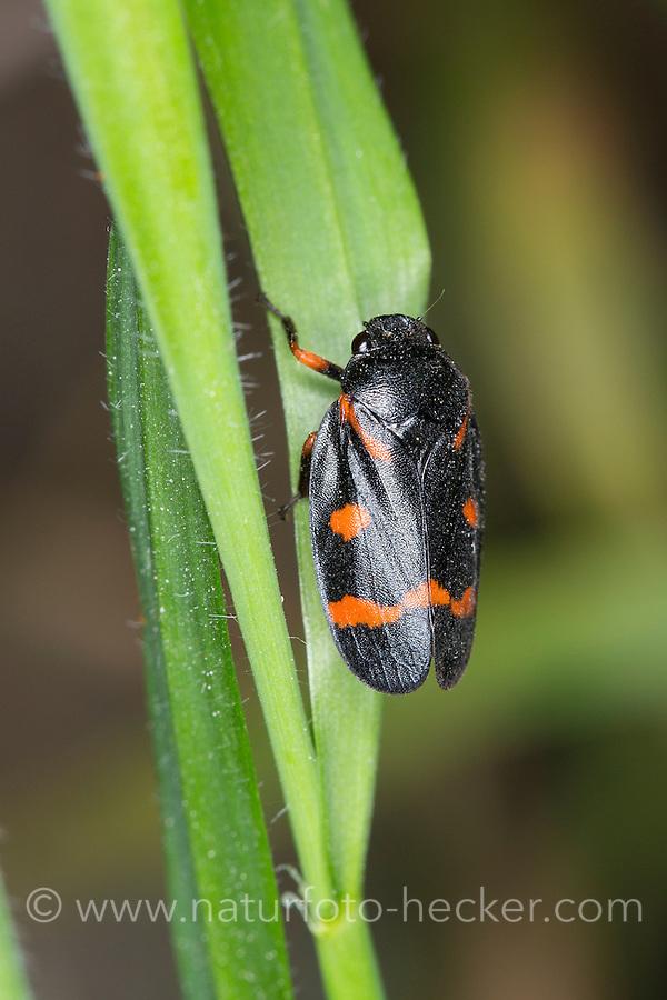 Rotknie-Blutzikade, Blutzikade, Cercopis intermedia, froghopper, Blutzikaden, Cercopidae, froghoppers