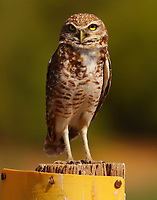 Burrowing owl sitting on sign announcing his presence