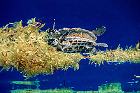 hawksbill sea turtle, Eretmochelys imbricata, floats in sargassum weed for protection from predators, Florida ( cr )