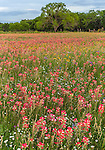 Seguin, Guadalupe County, TX: Field of wildflowers including Indian paintbrush (Castilleja indivisa), bluebonnets, fleabane and coreopsis with distant oak tree.