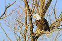 00370-015.17 Bald Eagle adult is perched in a tree.  Hunt, predator, scavenger, bird of prey, raptor, talon, symbol.