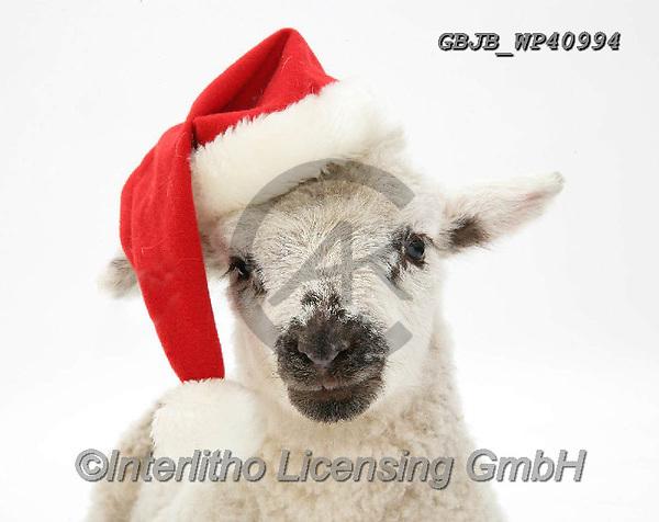 Kim, CHRISTMAS ANIMALS, WEIHNACHTEN TIERE, NAVIDAD ANIMALES, photos+++++,GBJBWP40994,#xa#