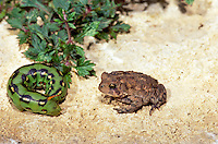 "Tiny toad meets caterpillar in garden and gets to meet the ""business end"" of the beast with its  little horn  and a mouth"