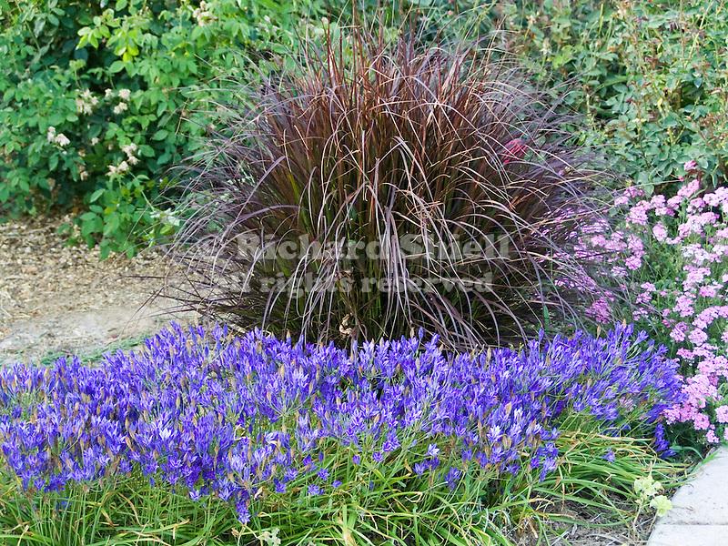 Red Fountain Grass and Broidea in garden