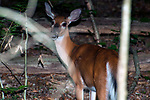 White-tailed deer doe walking away from camera, looks back at photographer.