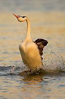 """Clark's Grebe (Aechmophorus clarkii) """"rushing"""" or courtship dance in early morning light.  Western U.S., May.  This grebe's mate is just out of the frame, though once in awhile grebes will dance by themselves or three will rush together usually it is performed by a courting pair."""