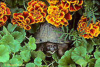 1R40-074x  Eastern Box Turtle - among marigolds - Terrapene carolina