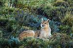 Mountain Lion (Puma concolor) male, Torres del Paine National Park, Patagonia, Chile