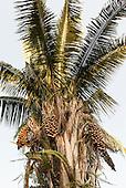 Pakissamba Village (Juruna), Xingu River, Para State, Brazil. Babassu palm nuts.
