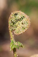 Gewöhnlicher Wurmfarn, Wurm-Fran, Dryopteris filix-mas, Bischofsstab, Bischofstab, Bischofsstäbe, male fern, worm fern