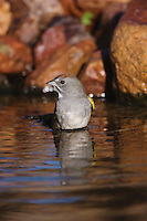 Green-tailed Towhee, Pipilo chlorurus, adult bathing,Tucson, Arizona, USA, September 2006