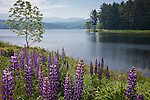 Lupines bloom at Pearl Lake in Lisbon, NH, USA