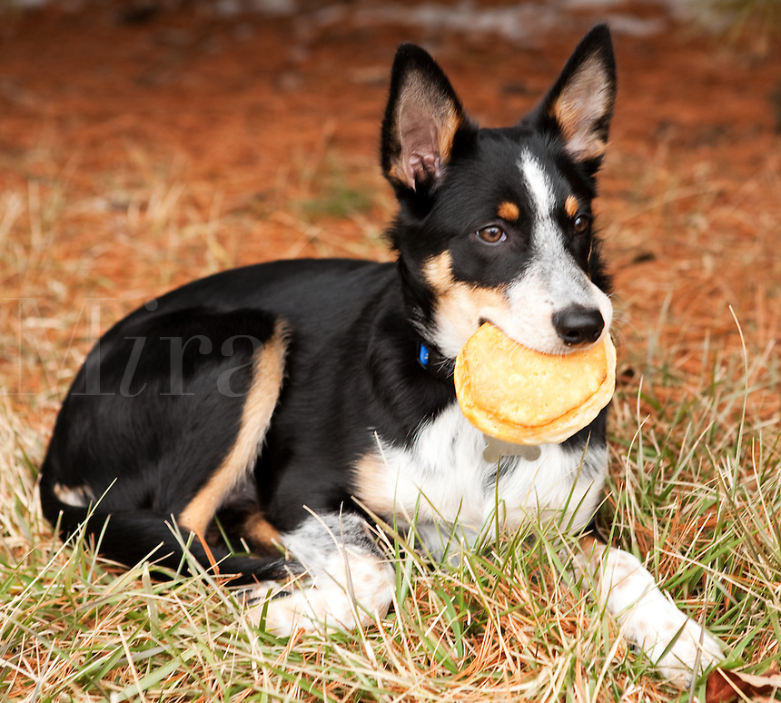 Australian Cattledog Mix Gloechen (Little Bell) with pancake in mouth