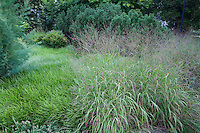 Ornamental grass, switch grass, Panicum virgatum 'Hanse Hermis' in Pennsylvania garden with Lilyturf liriope lawn substitute groundcover