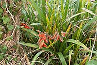 Iris foetidissima in berries