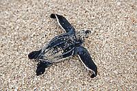 Leatherback turtle hatchlings.Sandy Point Wildlife Refuge.St Croix, US Virgin Islands