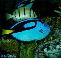 0119-08pp  Blue Tang - Regal Tang -  Paracanthurus hepatus © David Kuhn/Dwight Kuhn Photography