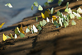 Pará State, Brazil. Xingu River. Butterflies on a river beach.