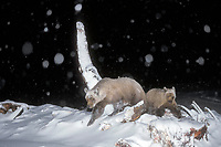 grizzly bear, Ursus horribilis, brown bear, Ursus arctos, mother and cub feeding on a bowhead whale, Balaena mysticetus, at night in the Arctic National Wildlife Refuge, 1002 coastal plain, Alaska
