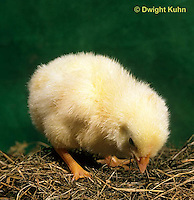 DG05-019x Domestic chick - newly hatched and fluffy