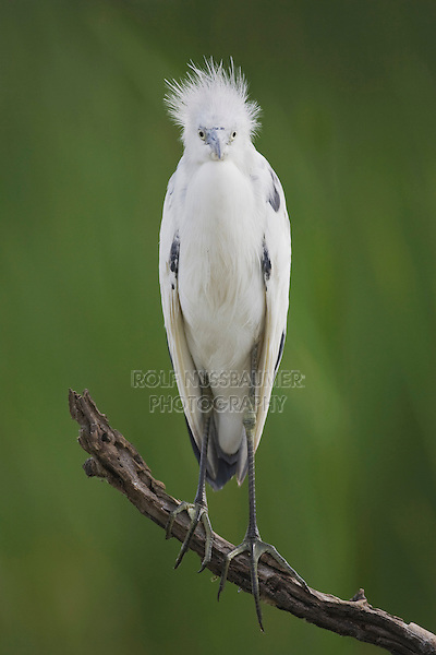 Little Blue Heron (Egretta caerulea), immature, Sinton, Corpus Christi, Coastal Bend, Texas, USA