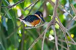 American Pygmy Kingfisher (Chloroceryle aenea). Pantanal, Brazil.