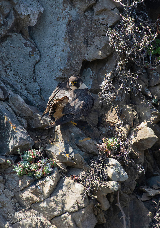 Peregrine Falcon, Falco peregrinus, perches on a rocky cliff overlooking the Pacific Ocean near Bodega Bay, California