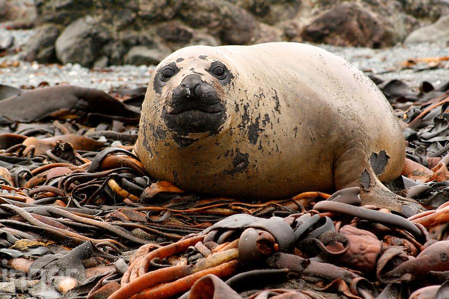 Southern Elephant Seal pup on Dervillea antarctica kelp, Macquarie Island, Antarctica