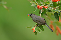 Gray Catbird (Dumetella carolinensis), adult feeding on berries Berlandier's fiddlewood (Citharexylum berlandieri), South Padre Island, Texas, USA