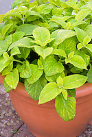 (Solenostemon) Coleus 'Wizard Golden'